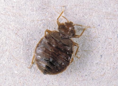 bedbug_l