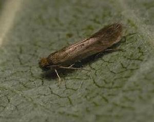 moth_l