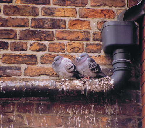 pigeon1_l