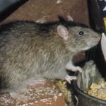 rat_l