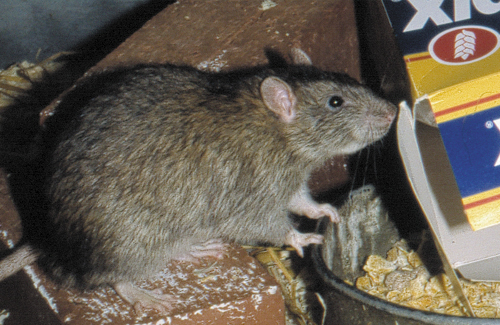domestic rats essay It is extremely serious if rats are getting into your home even if they are not  entering a direct living area any rat problem inside the home must be treated  urgently.