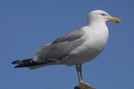 seagull_l