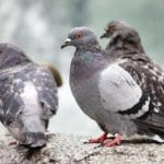 Bird Control Suffolk