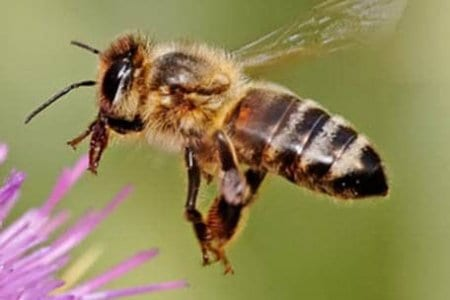 Feral Bees