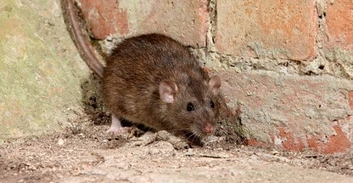 Rodent Control in Suffolk