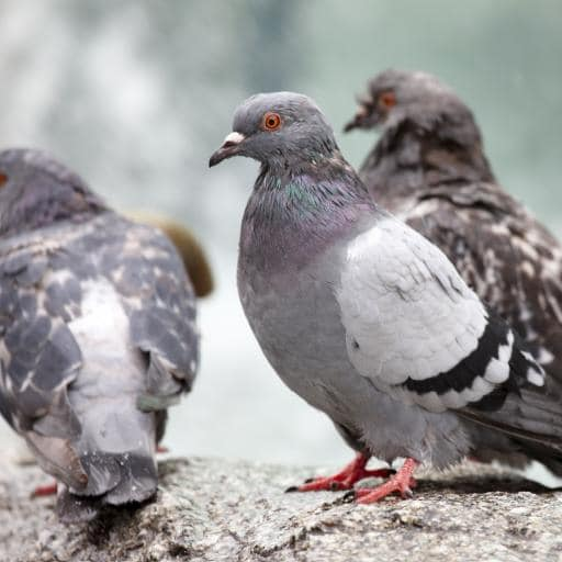 Bird Control throughout East Anglia by Pest Solution