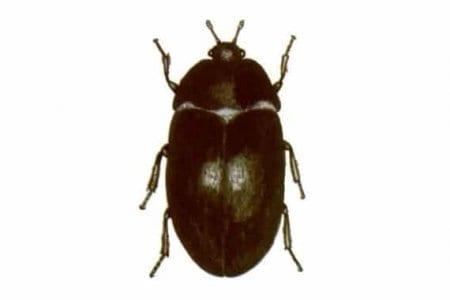 Fur beetles