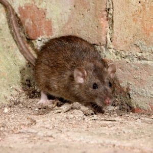 Rodent Control in Ipswich Borough Council